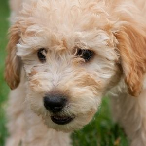 Goldendoodle Rescue: 9 Best Places To Look - Goldendoodle puppy