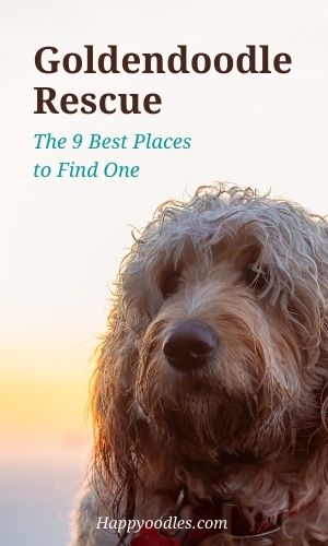 Goldendoodle Rescue: 9 Best Places To Look Pin