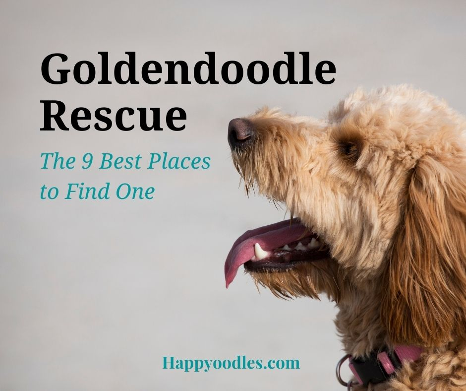 Goldendoodle Rescue: 9 Best Places To Look Title page with side view of Goldendoodle
