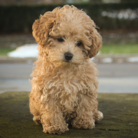 Cute apricot puppy sitting