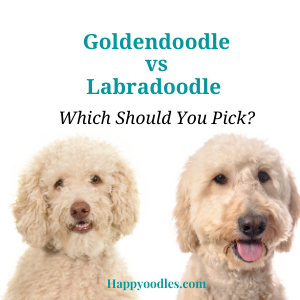 Goldendoodle vs Labradoodle: Which is Better?