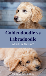 Goldendoodle vs Labradoodle: Which is Better? pin