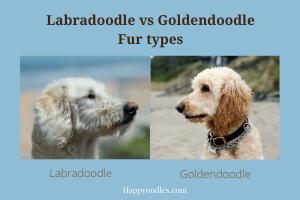Labradoodle vs Goldendoodle: Fur types