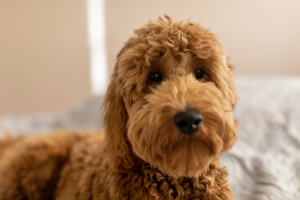 Do Goldendoodles Shed?  The Truth about Shedding