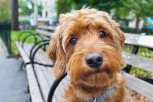 Mini Goldendoodle sitting on park bench