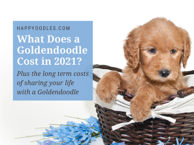 What Does A Goldendoodle Cost in 2021? Happyoodles.com Title page Goldendoodle puppy in brown basket with Blue flowers nearby.