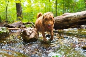Mini Goldendoodle walking through a stream