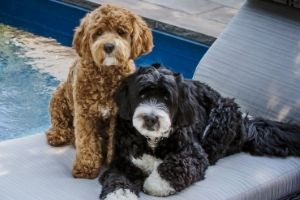 Mini Bernedoodle dogs.  One brown and one black and white