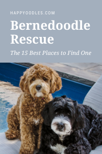Bernedoodle Rescue - The 15 Best Places to Find One  Pinterest Pin