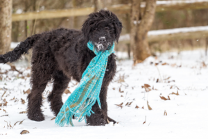 Black Goldendoodle with blue scarf