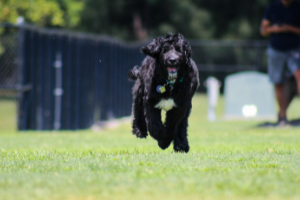 Black and White Goldendoodle running