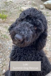 Black Bernedoodle from Summit Dog Rescue