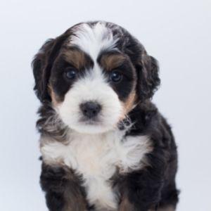 Bernepoo puppy