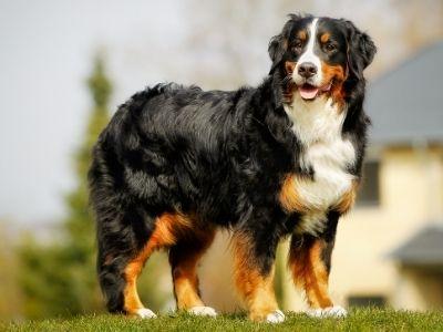 Happyoodles.com Bernese Mountain dog - Canva.com