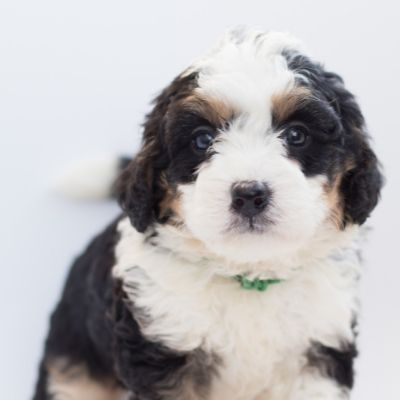 The Bernedoodle: 10 Things You Didn't Know - Happyoodles.com  Bernedoodle puppy