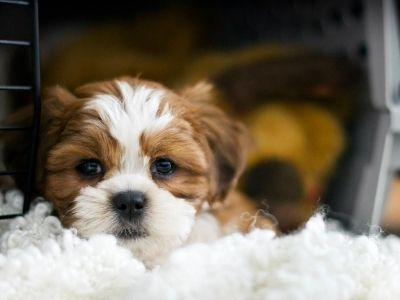Brown and white puppy in crate