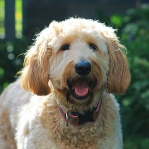 Light colored Goldendoodle with green background