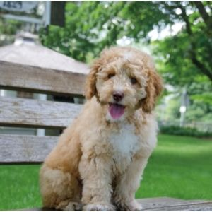 Doodle Rescue: 12 Best Places to look for a Doodle - Labradoodle puppy on bench