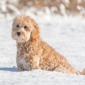 Cream Goldendoodle in snow