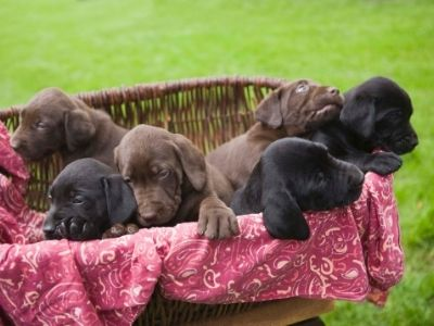 How to pick a puppy - Labrador puppies in a basket