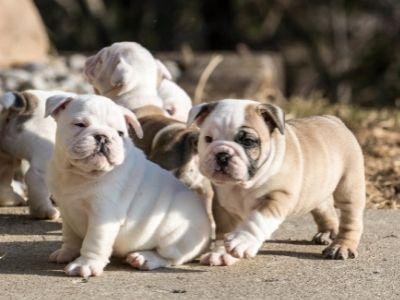 How to Pick a Puppy from a Litter - bulldog puppies