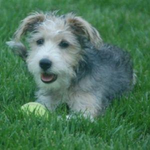 The Best Terrier Poodle Mix Breed Guide Schoodle - Petfinder. com