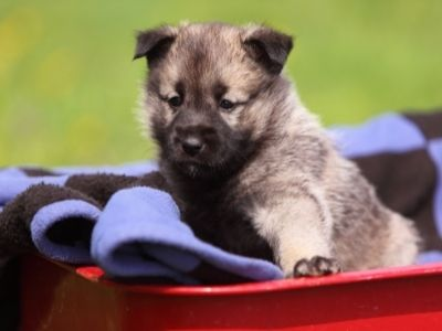 Norse Dog Names: Viking Names for Your Dog Elk Hound puppy
