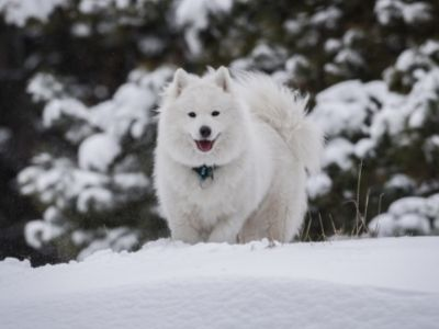 Norse Dog Names: Viking Names for Your Dog Samoyed in snow