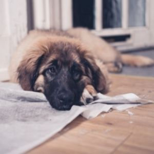 Puppy Potty mistakes Pup with torn up pee pad