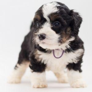 Puppy Blues - Happyoodles.com
