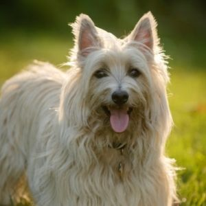 Scottish Dog Names Cairn Terrier