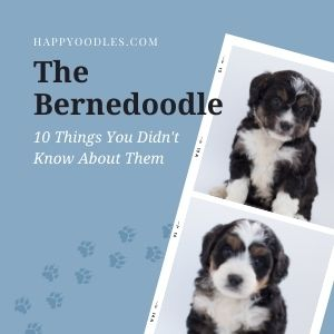 The Bernedoodle: 10 Things You Didn't Know About them - Title picture with two pictures of Berne doodle puppies.
