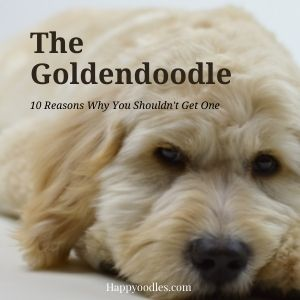 The Goldendoodle: 10 Reasons You Shouldn't Get One -Title Picture with cream colored Goldendoodle