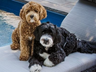 Happyoodles.com Black and white Bernedoodle and brown and white bernepoo