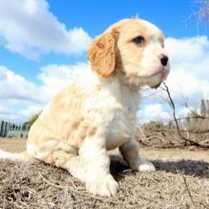 Happyoodles.com Cavapoo Rescue: The 11 Best Places to Look for One - Puppy sitting