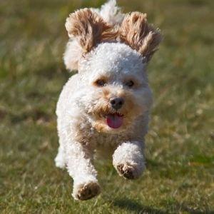 Cavadoodle running - Canva