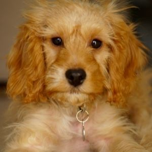 Cockapoo Rescue: Best Places To Look By Region