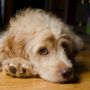 Cockapoo Rescue - Dog lying on floor