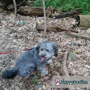 Happyoodles.com Bella resting on a trail