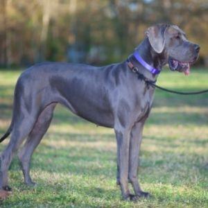 Happyoodles.com Big Dog Names Great Dane - Grey