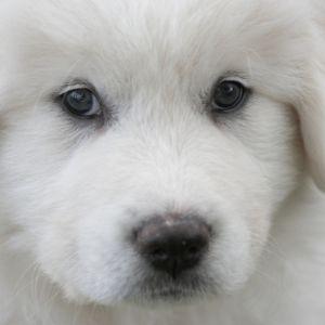 Happyoodles.com-Big-Dog-Names-Great-Pyrenees-Puppy
