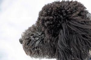 Black Goldendoodle