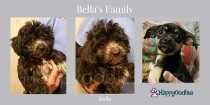 Oodle Dog Guide - What You Need to know Bells family