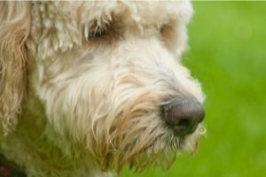 Oodle Dog Guide - What You Need to know Before Getting a Doodle -