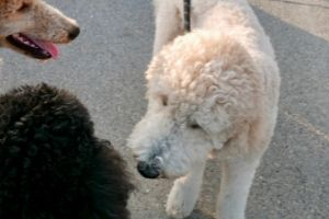 Goldendoodle with other doodles