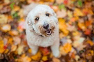 Happy Goldendoodle outside