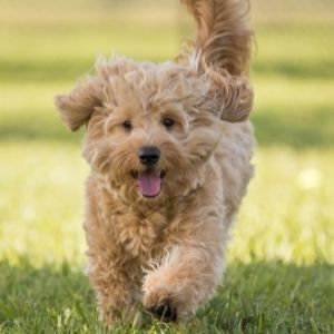 Oodle Dog Guide - What You Need to know Before Getting a Doodle - Goldendoodle running