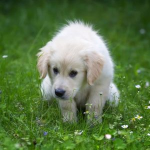 Potty Training a Puppy: Made Easy - Happyoodles.com Puppy in Grass