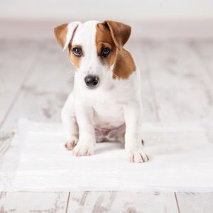 Potty Training a Puppy: Made Easy Puppy on pee pad