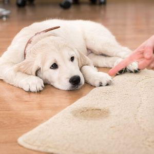 Potty Training a Puppy: Made Easy -Happyoodles.com Puppy looking at pee spot on rug